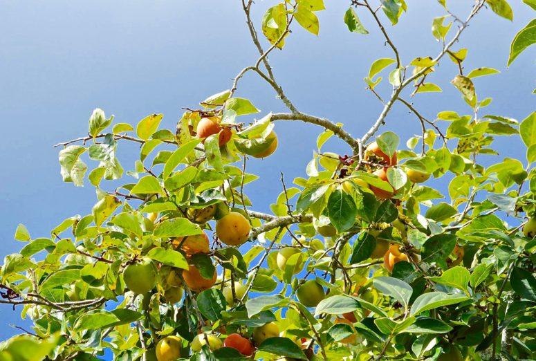 peaches-637485_1920